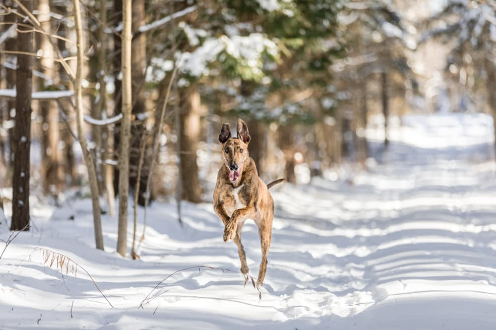 Lurcher dog running fast towards the camera in the snow in the woods