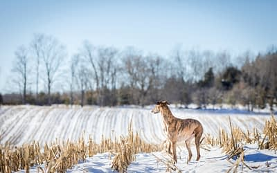 A winter dog portrait session with a Lurcher / Owen Sound & Collingwood Pet & Equine Photographer