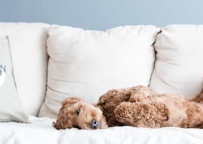 dog on couch mobile background