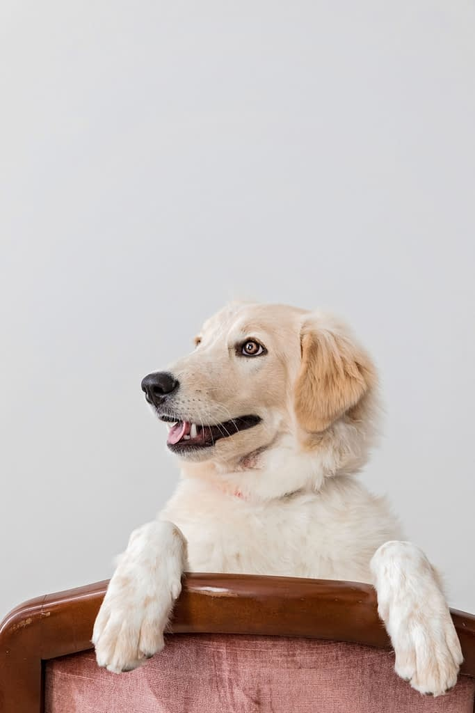 portrait of lab puppy on chair in photography studio