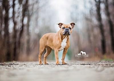 FrenchBulldogmix2