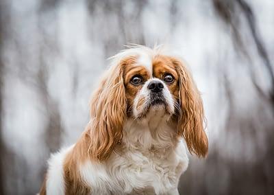 King_charles_cavalier_dog