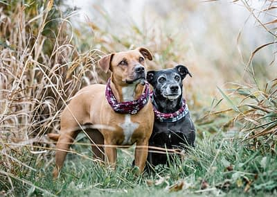 Two_dogs_In_A_Field