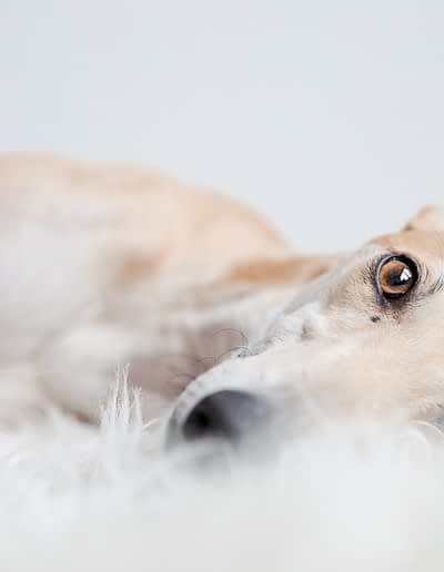 Grey Hound dog