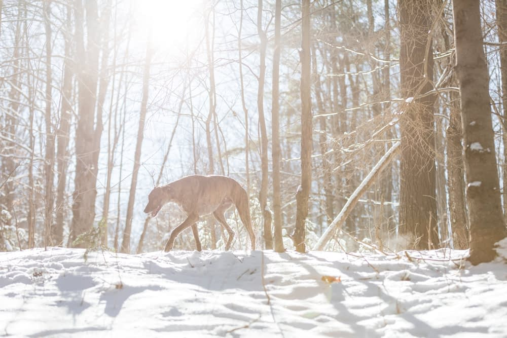 Lurcher dog waling in a forest in the winter with sun rays